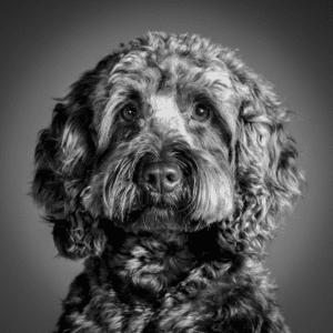 a black and white dog portrait